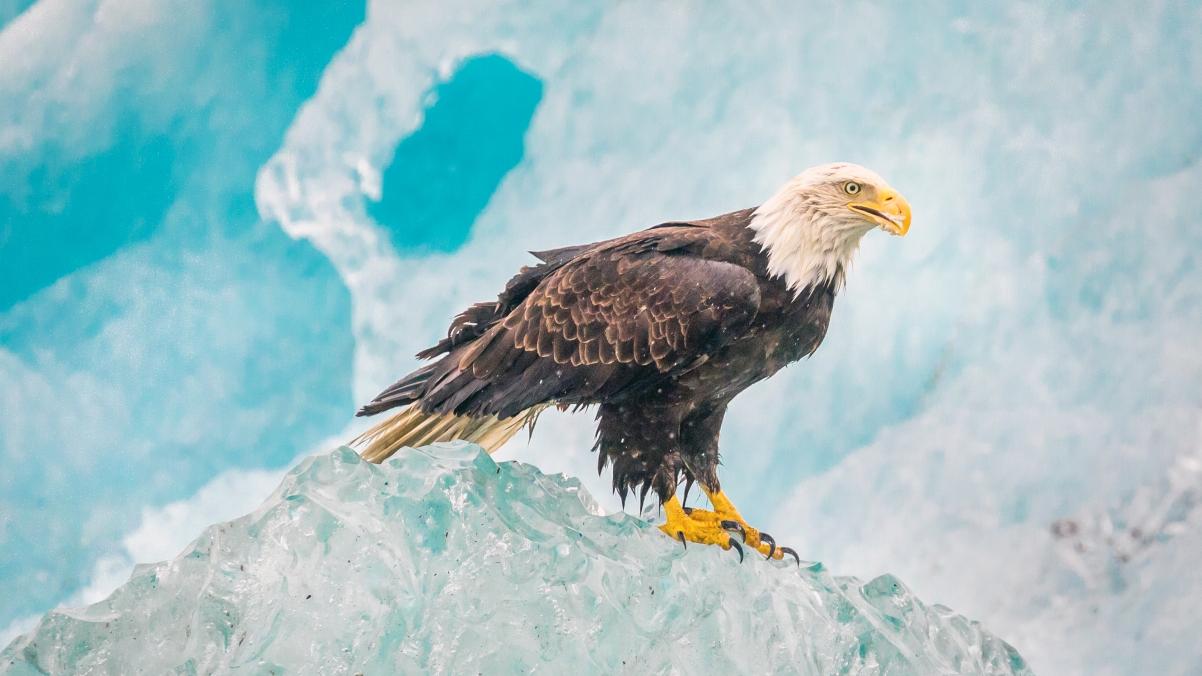 Alaska Iceberg Eagle 4k Wallpaper